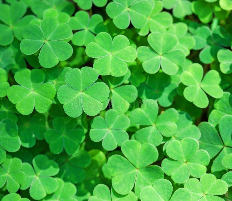Grüner Hintergrund mit drei-leaved Shamrocks St- Patrick` s Tagesfeiertagssymbol lizenzfreies stockbild