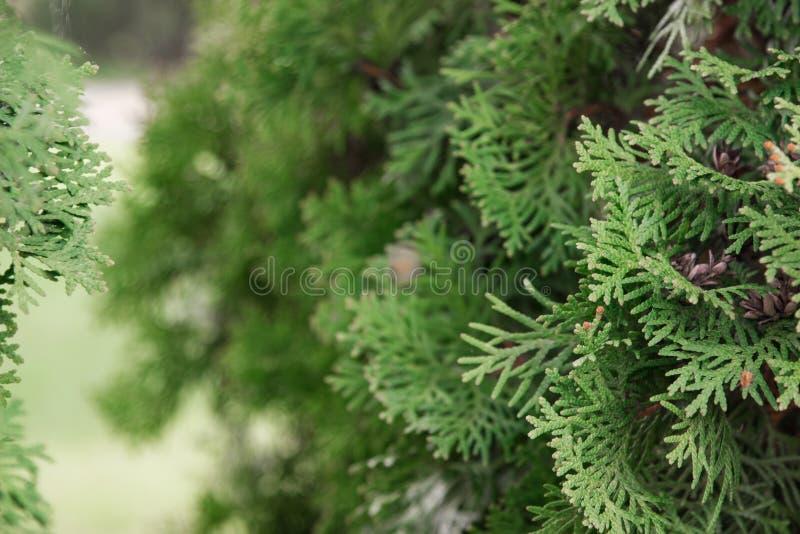 Grüner Hintergrund Hintergrund von Weihnachtsbaumasten stockfotos