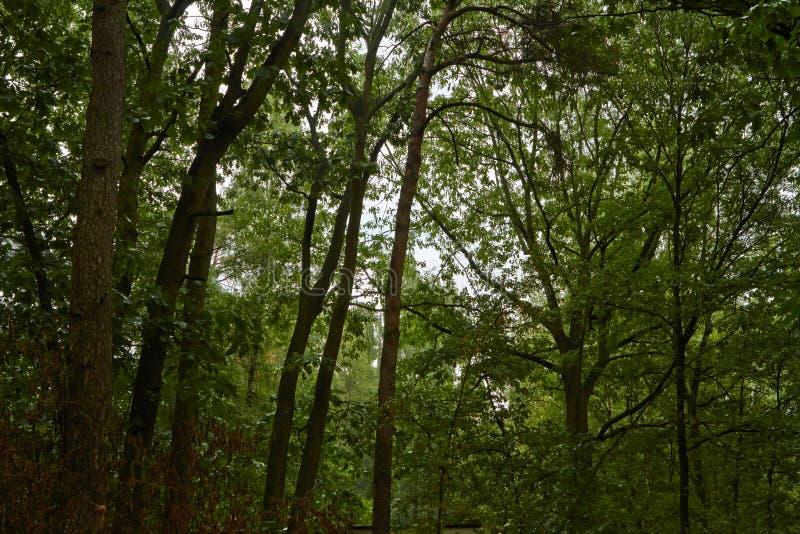Grüner hoher Wald an einem regnerischen Tag Juli stockfotos