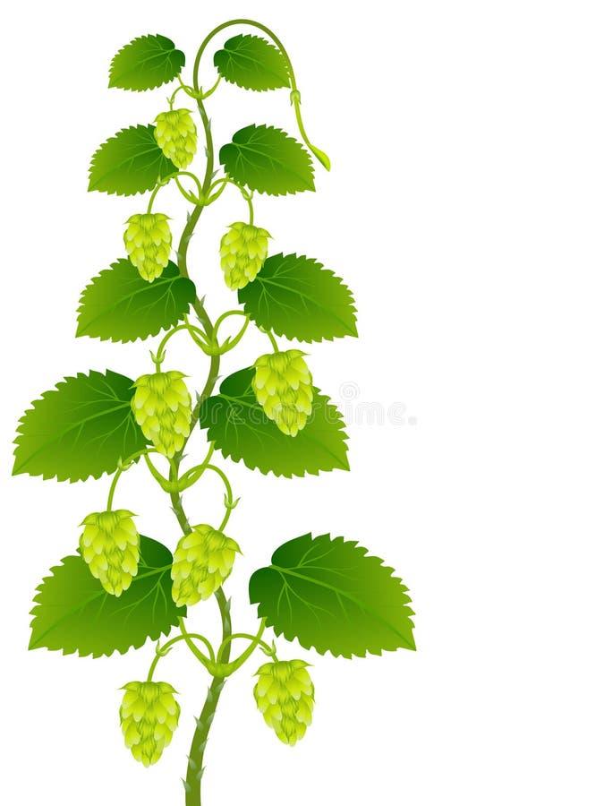 Grüner Hopfen mit Blättern auf einem weißen Hintergrund stock abbildung