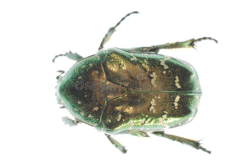 Grüner Insektkäfer lizenzfreie stockbilder