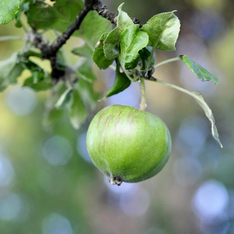 Grüner junger Apfel auf unscharfem Hintergrund stockbilder