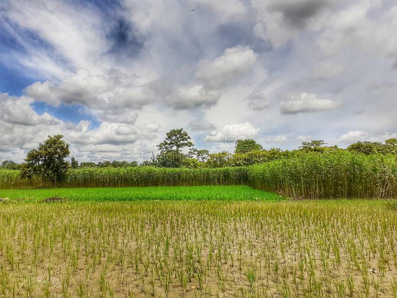 Grüner Jutefaser und Reispflanze auf dem Gebiet Jutefaser und Reisanbau in Assam in Indien lizenzfreie stockfotos