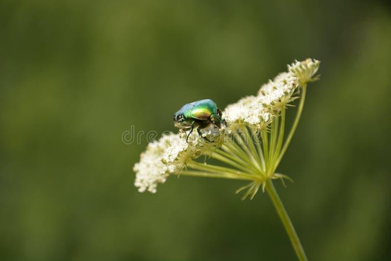 Grüner Käfer lizenzfreie stockfotografie