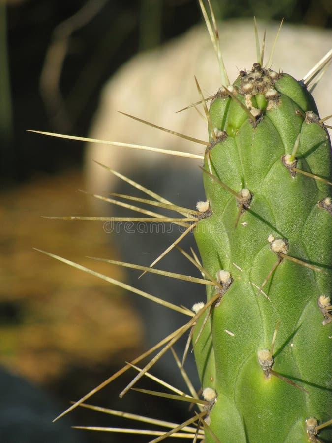 Grüner Kaktus lizenzfreie stockbilder