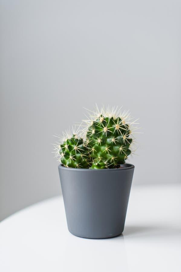 Grüner Kaktus auf einem grauen Hintergrund Inländische Anlage saftig lizenzfreie stockfotos