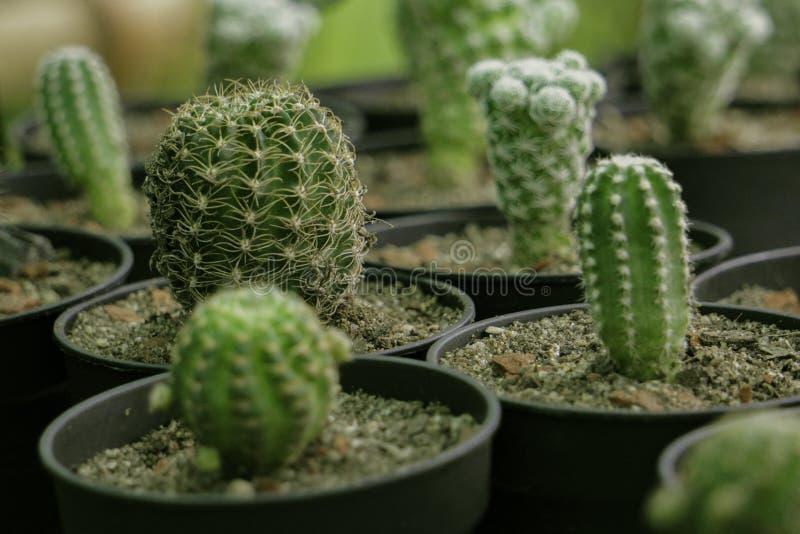 Grüner Kaktus, der im Kindertagesstätte Tongefäß wächst lizenzfreie stockfotografie