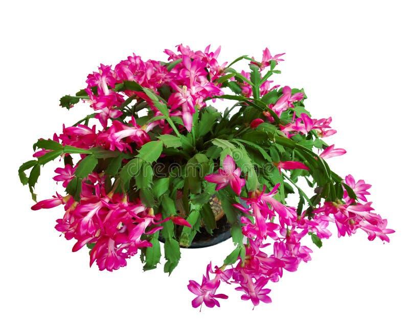 Grüner Kaktus mit den Blumen getrennt stockfotografie
