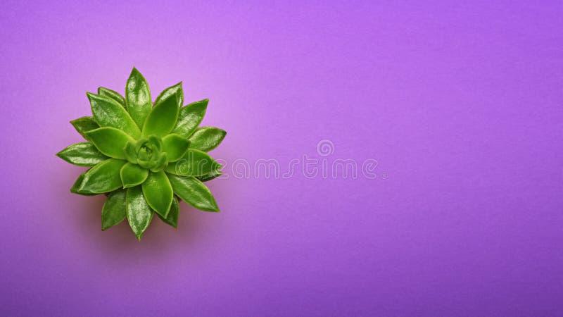 Grüner Kaktus Succulent in der Draufsicht des keramischen Topfes mit Kopienraum auf Pastellfarbultravioletthintergrund Minimales  stockbild
