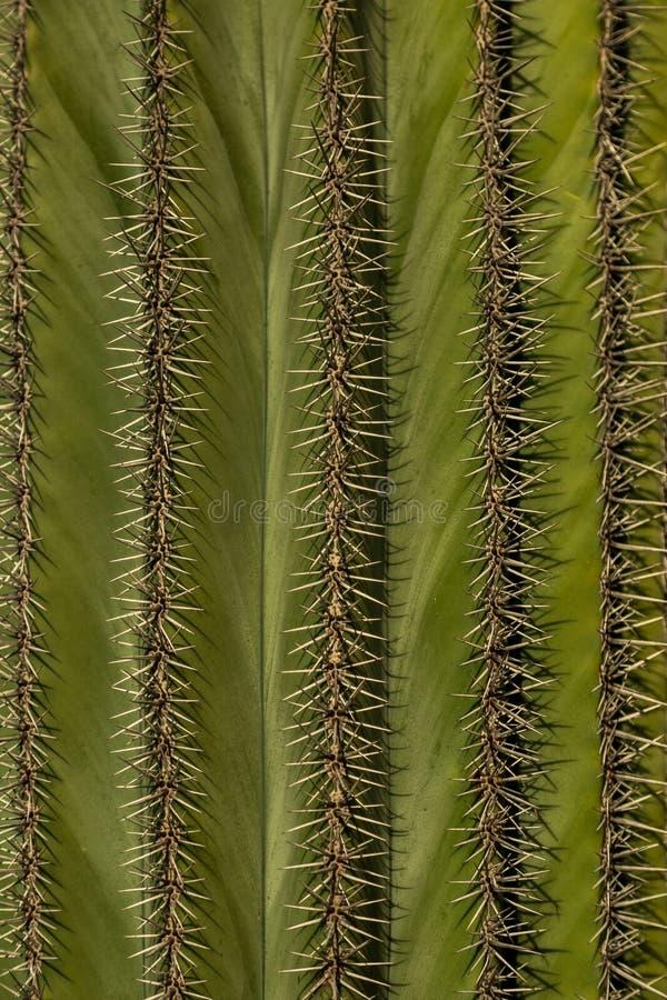 Grüner Kaktushintergrund Detailbeschaffenheit der Haut und der Dorne lizenzfreie stockfotografie