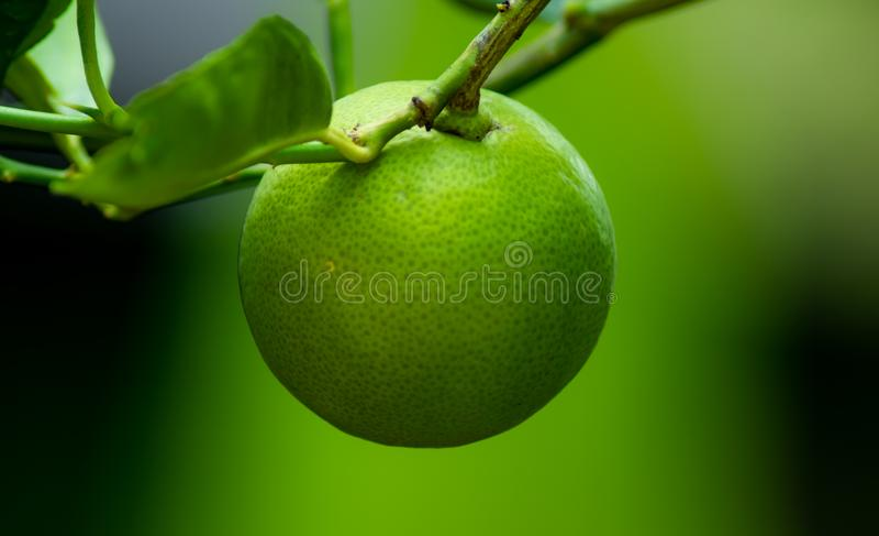 Grüner Kalk auf der Niederlassung des Limettenbaums, Fruchtanlage im Garten zu Hause lizenzfreies stockfoto