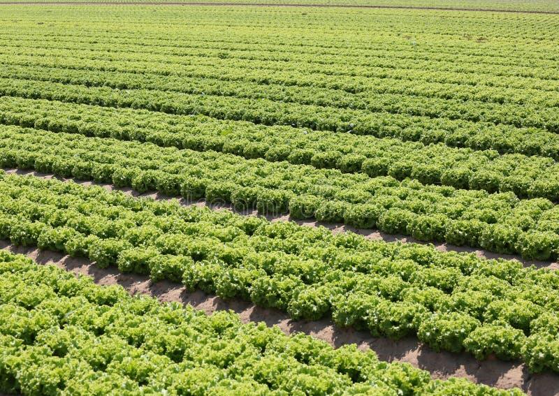 grüner Kopfsalat im fruchtbaren sandigen Boden in der Padana-Ebene in Italien lizenzfreies stockfoto