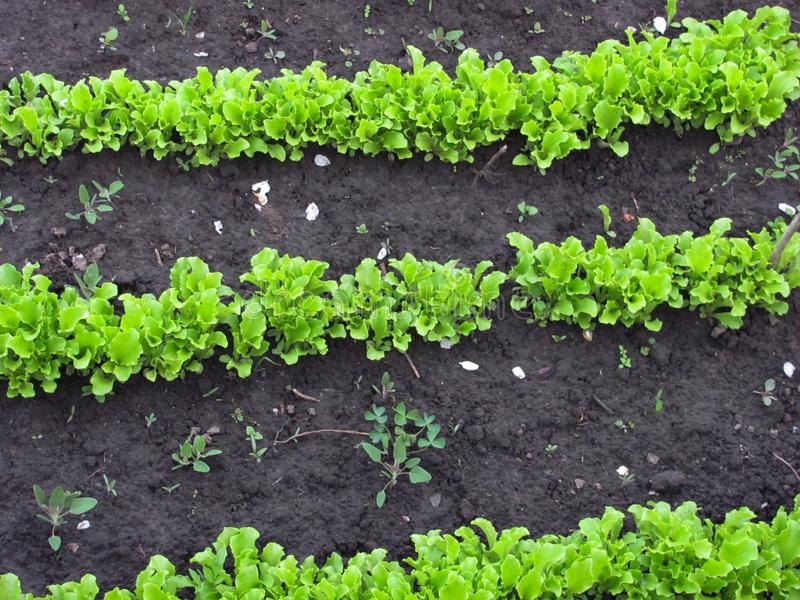 Grüner Kopfsalat wächst lizenzfreie stockfotos