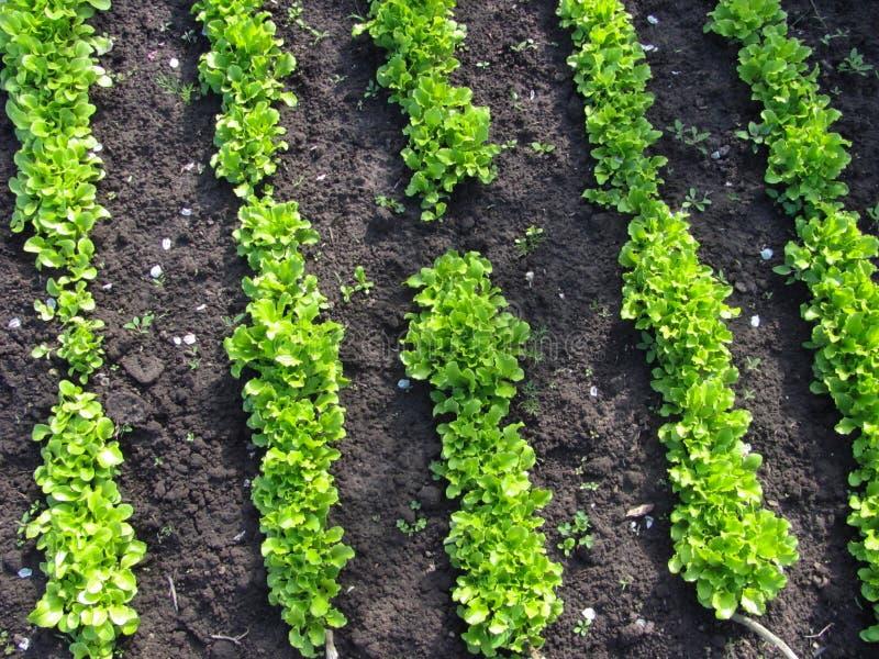 Grüner Kopfsalat wächst stockfotos