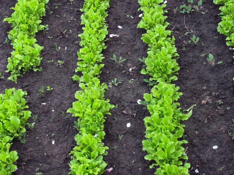 Grüner Kopfsalat wächst lizenzfreie stockfotografie