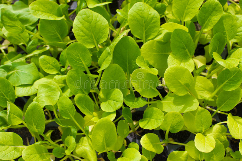 Grüner Kopfsalatsämling. Nahrung und Gemüse stockbilder