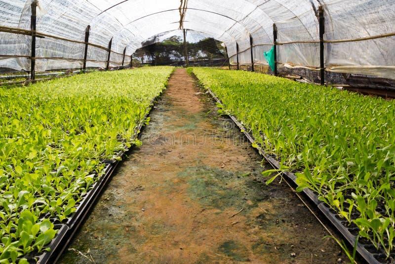 Grüner Kopfsalatsämling Nahrungsmittel- und Gemüsehintergrund lizenzfreie stockbilder