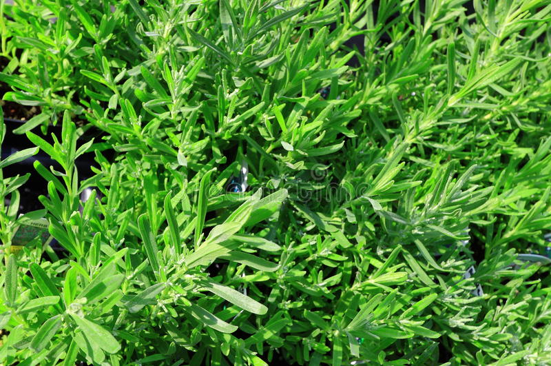 Grüner Krauthintergrund lizenzfreie stockbilder
