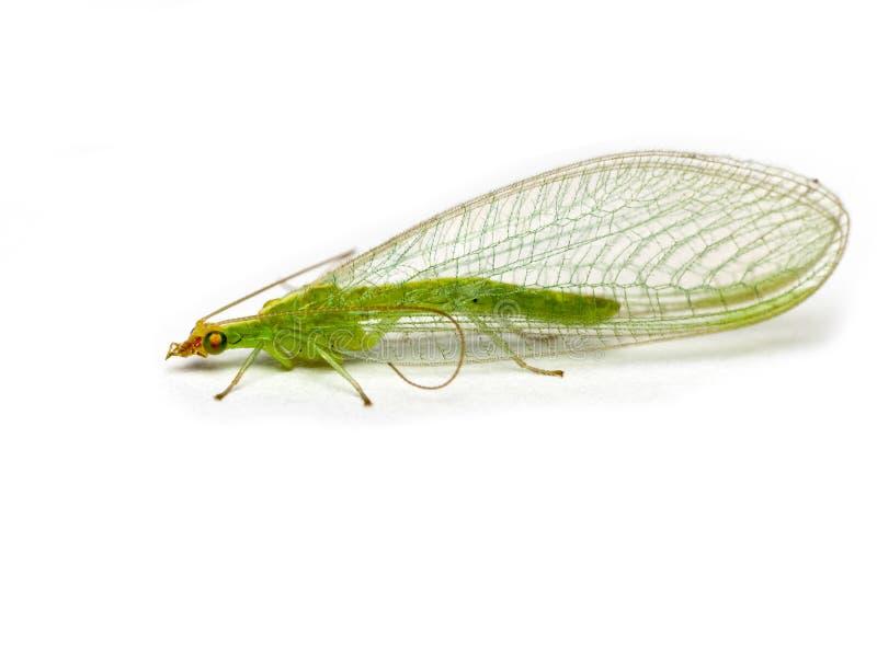 Grüner Lacewing Chrysopidae lizenzfreie stockbilder