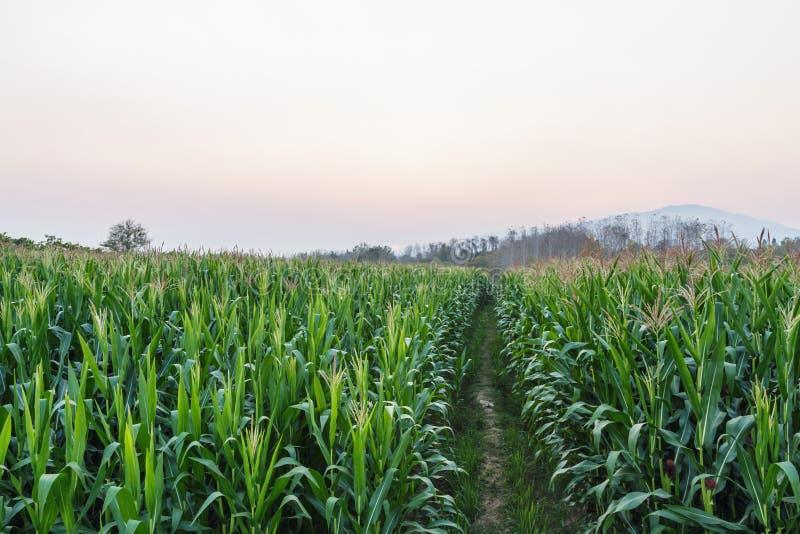 Grüner Landwirtschaftsfeldmaisbereich stockbild
