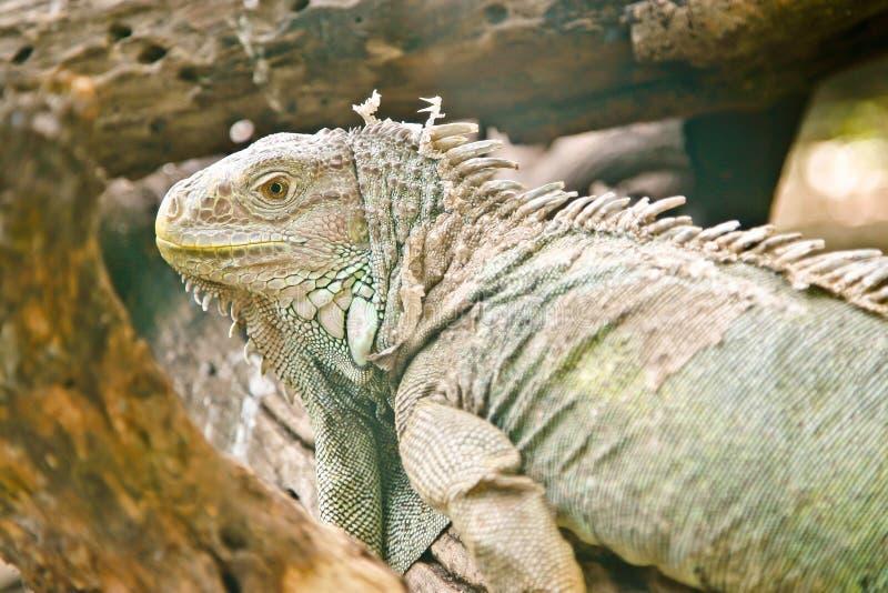 Grüner Leguan stockbilder