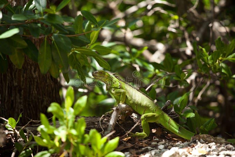 Grüner Leguan, der auf einem Klotz stillsteht lizenzfreie stockfotos