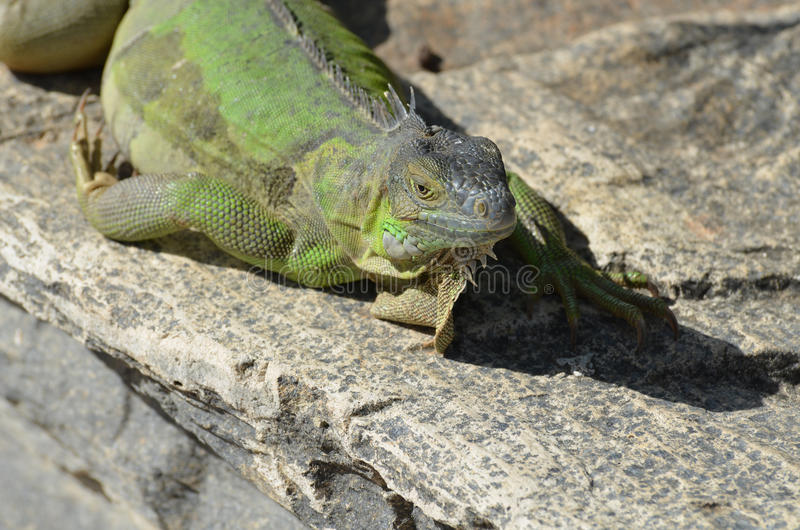 Grüner Leguan, der im Sun stillsteht stockfotografie