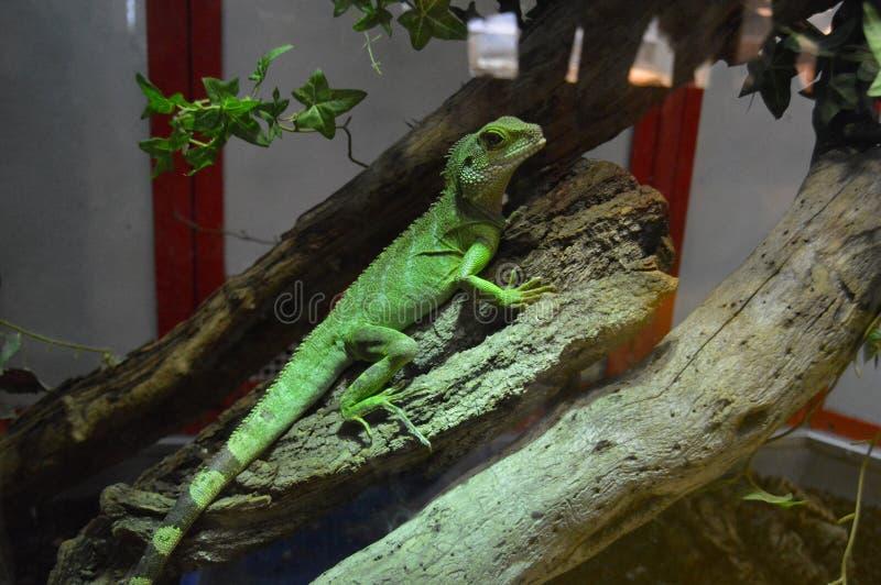 Grüner Leguan in einem Geschäft für Haustiere lizenzfreie stockfotografie