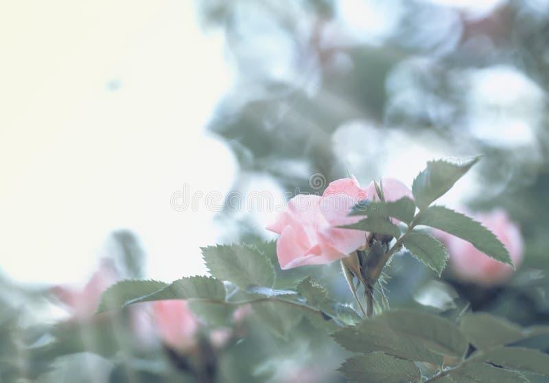 Grüner natürlicher Hintergrund des Frühlinges mit rosa Blumen von wildem stieg, unscharfes Bild, flache Schärfentiefe stockfoto