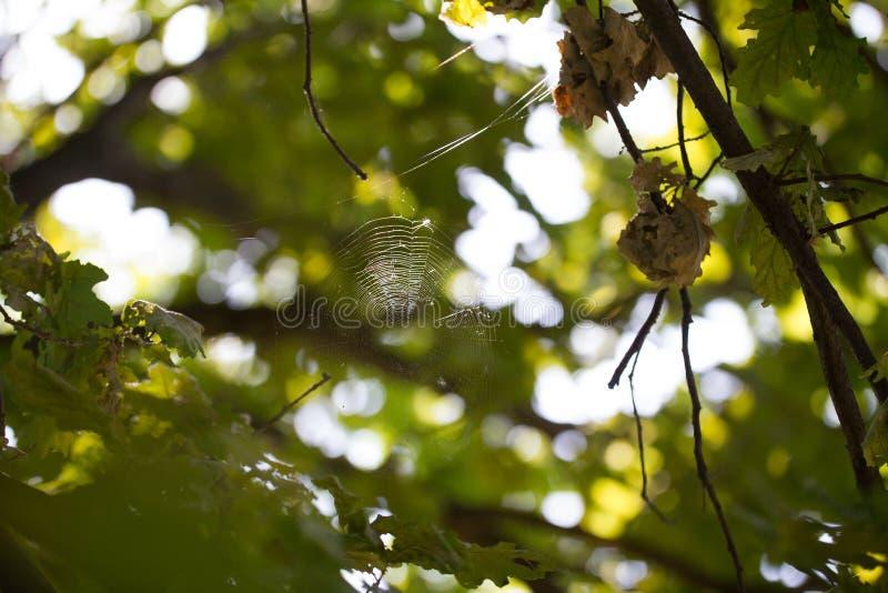 Grüner Naturhintergrund - Spinne ` s Spinnennetz im Wald lizenzfreie stockfotos
