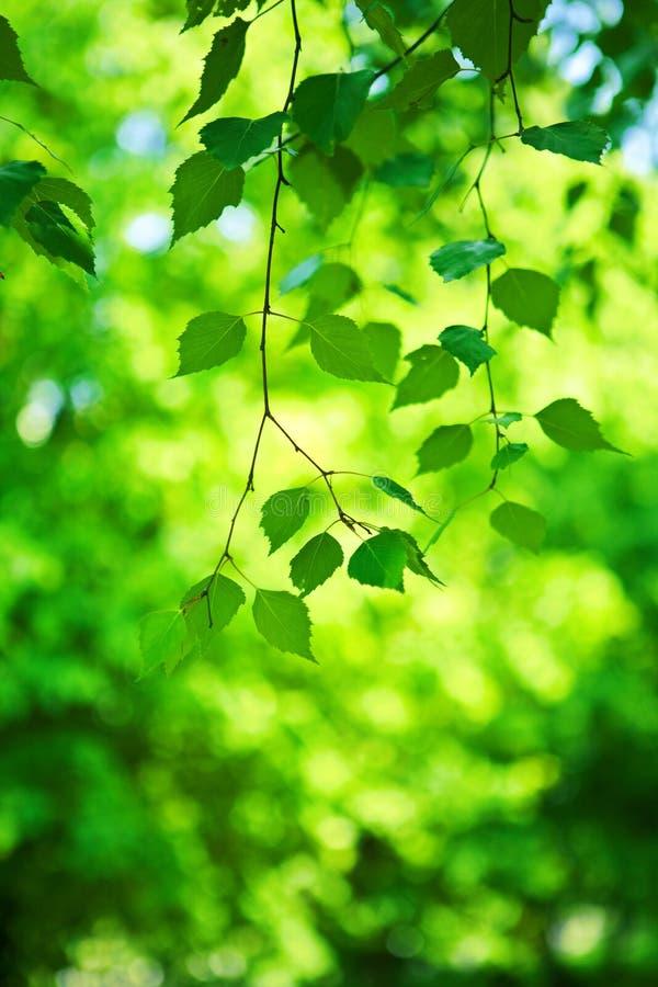 Grüner neuer Zweig des Birkenbaums stockfotografie