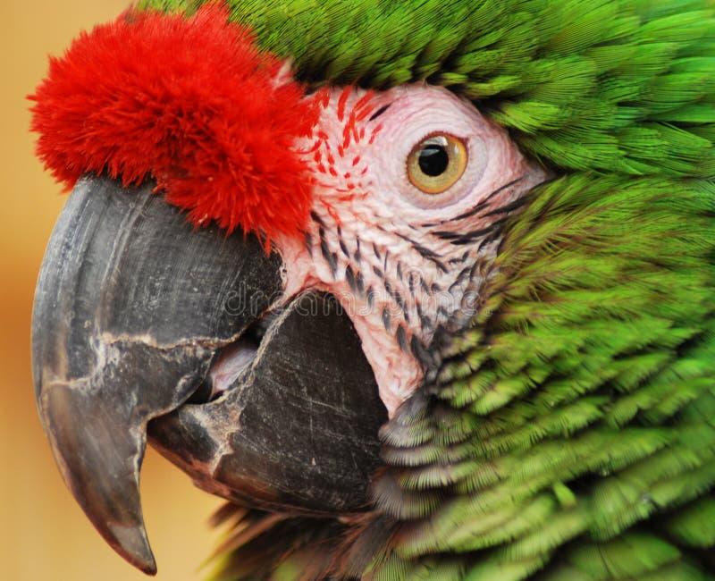 Grüner Papagei stockbilder