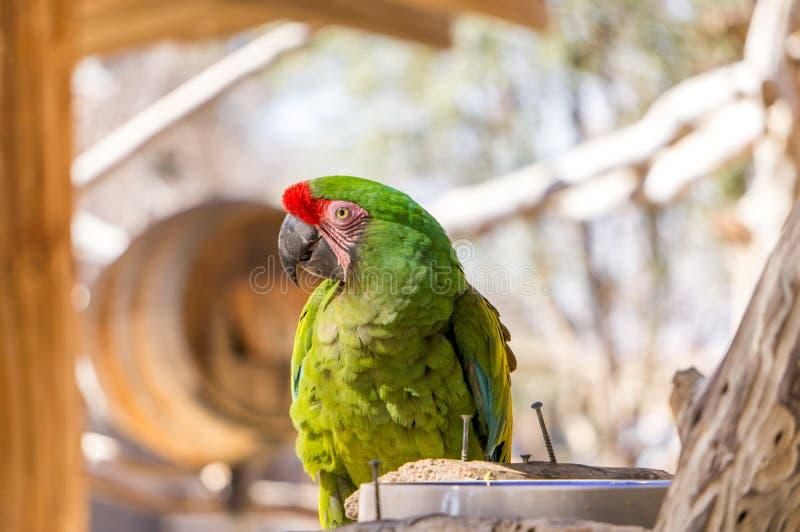 Grüner Papagei stockfotografie