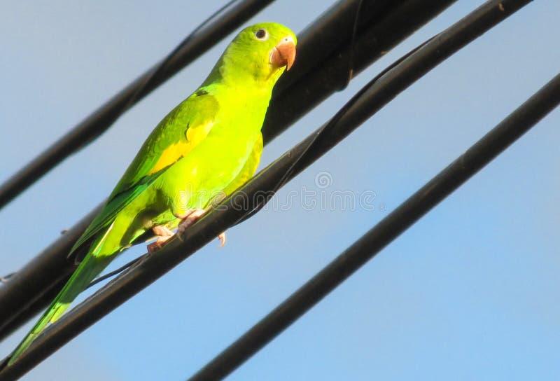 Grüner Papagei Auf Dem Draht Stockfoto - Bild von inländisch, macaw ...