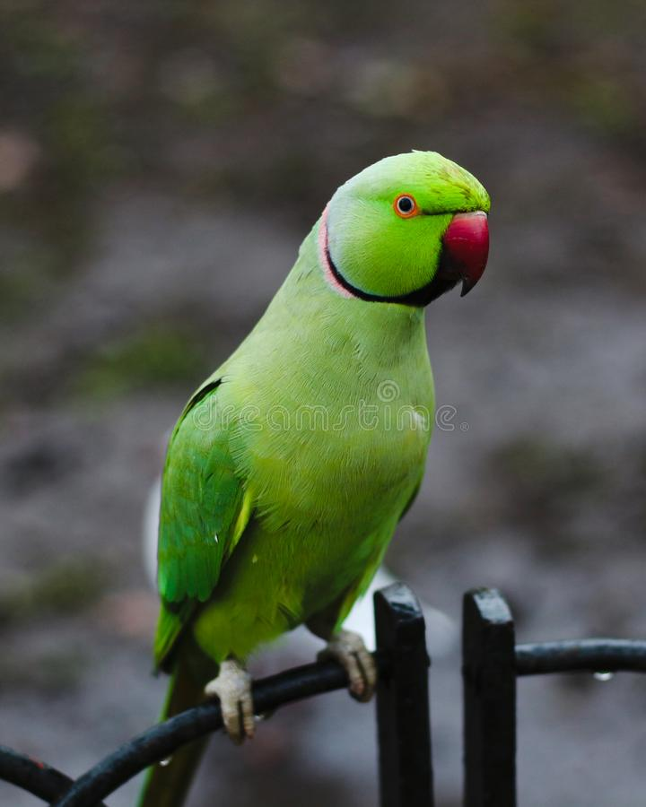 Grüner Papagei mit dem roten Schnabel, der auf dem Metallzaun sitzt stockfoto