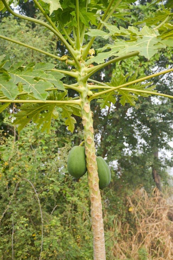 Grüner Papayabaum stockfotos