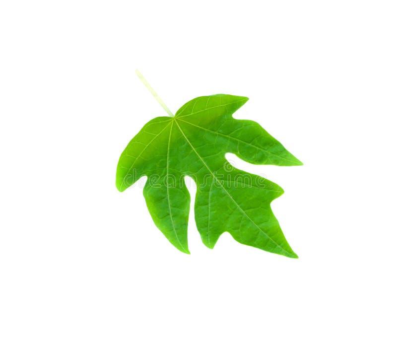 Grüner Papayaurlaub lizenzfreie stockbilder