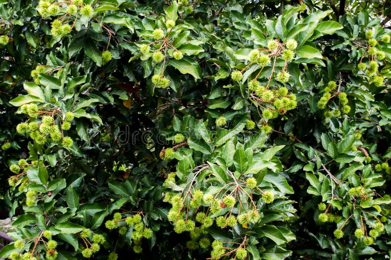 Grüner Rambutan auf Baum im Wald lizenzfreies stockbild