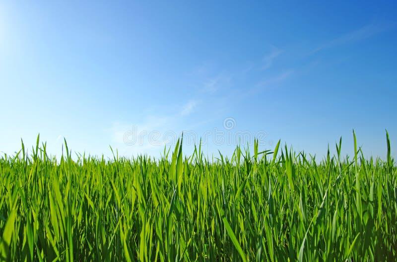 Download Grüner Rasen stockbild. Bild von grasartig, manicured - 12201213