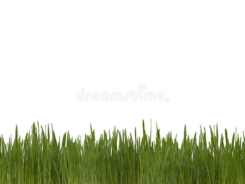 Grüner Rasen von frischen hellen Grassprösslingen auf weißem Hintergrund stockbilder