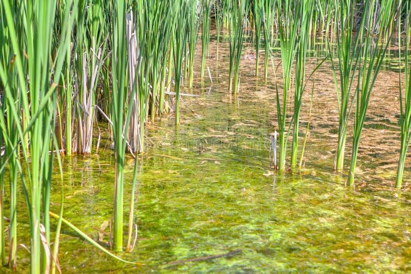 Grüner Reedsumpf lizenzfreies stockfoto
