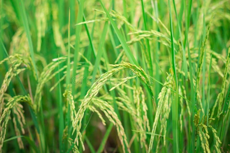 Grüner Reis in bebautem landwirtschaftlichem Feld-Anfangsstadium der Landwirtschaft der Anlage lizenzfreie stockfotos