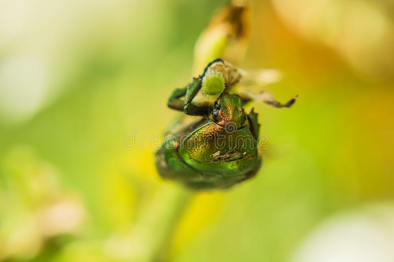 Grüner rosafarbener Käfer gehalten auf Zweig stockfotos