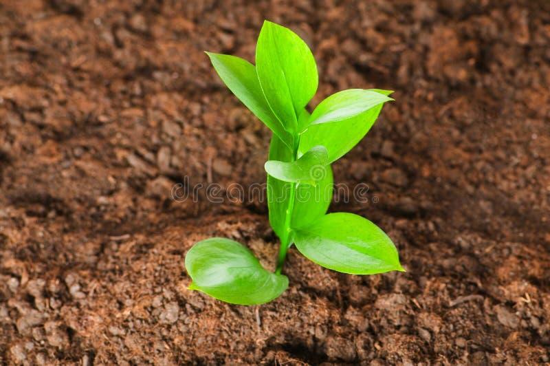 Grüner Sämling, der aus Boden heraus wächst lizenzfreie stockbilder
