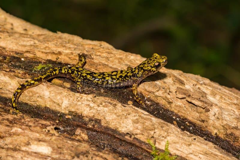Gr?ner Salamander-Abschluss oben stockfoto