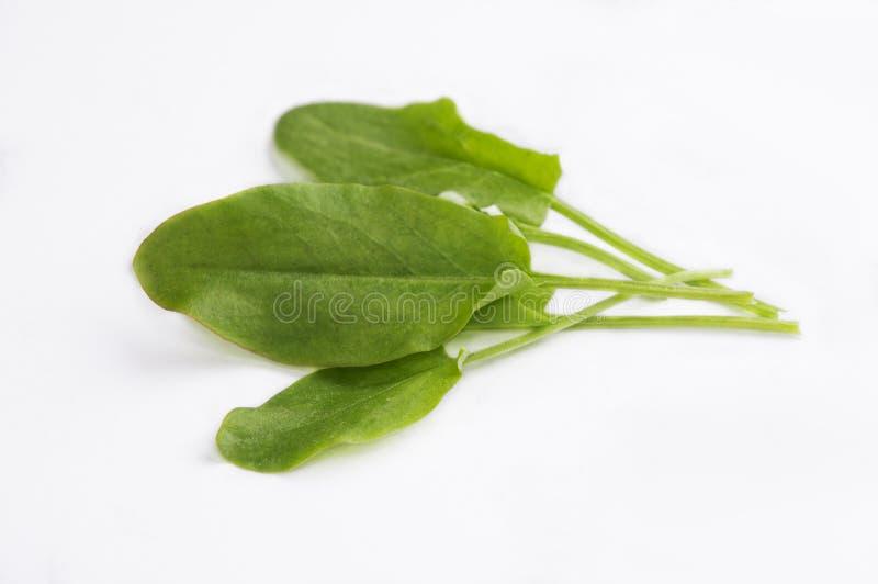 Grüner Sauerampfer lizenzfreies stockbild