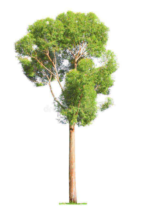 Baum auf weißem Hintergrund lizenzfreies stockfoto