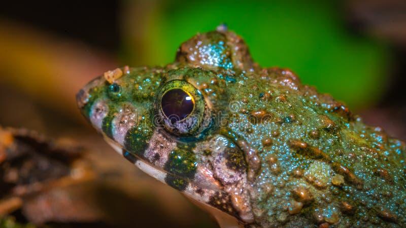 Grüner Schleim-Ochsenfrosch mit dunkelbraunen Stellen lizenzfreies stockfoto