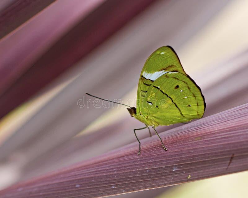 Grüner Schmetterling auf purpurroter rosa Anlage lizenzfreies stockfoto