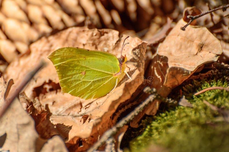 Grüner Schmetterling, der auf einem trockenen Blatt an einem sonnigen Tag im Wald sitzt lizenzfreie stockfotografie
